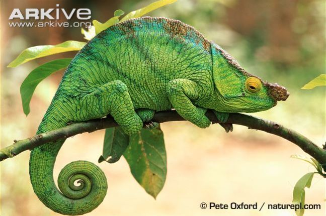 male-parsons-chameleon-on-branch